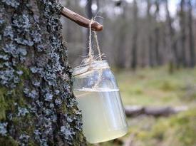 Живая вода: как лечиться березовым соком