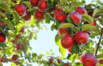 Как ежедневное употребление яблок влияет на здоровье